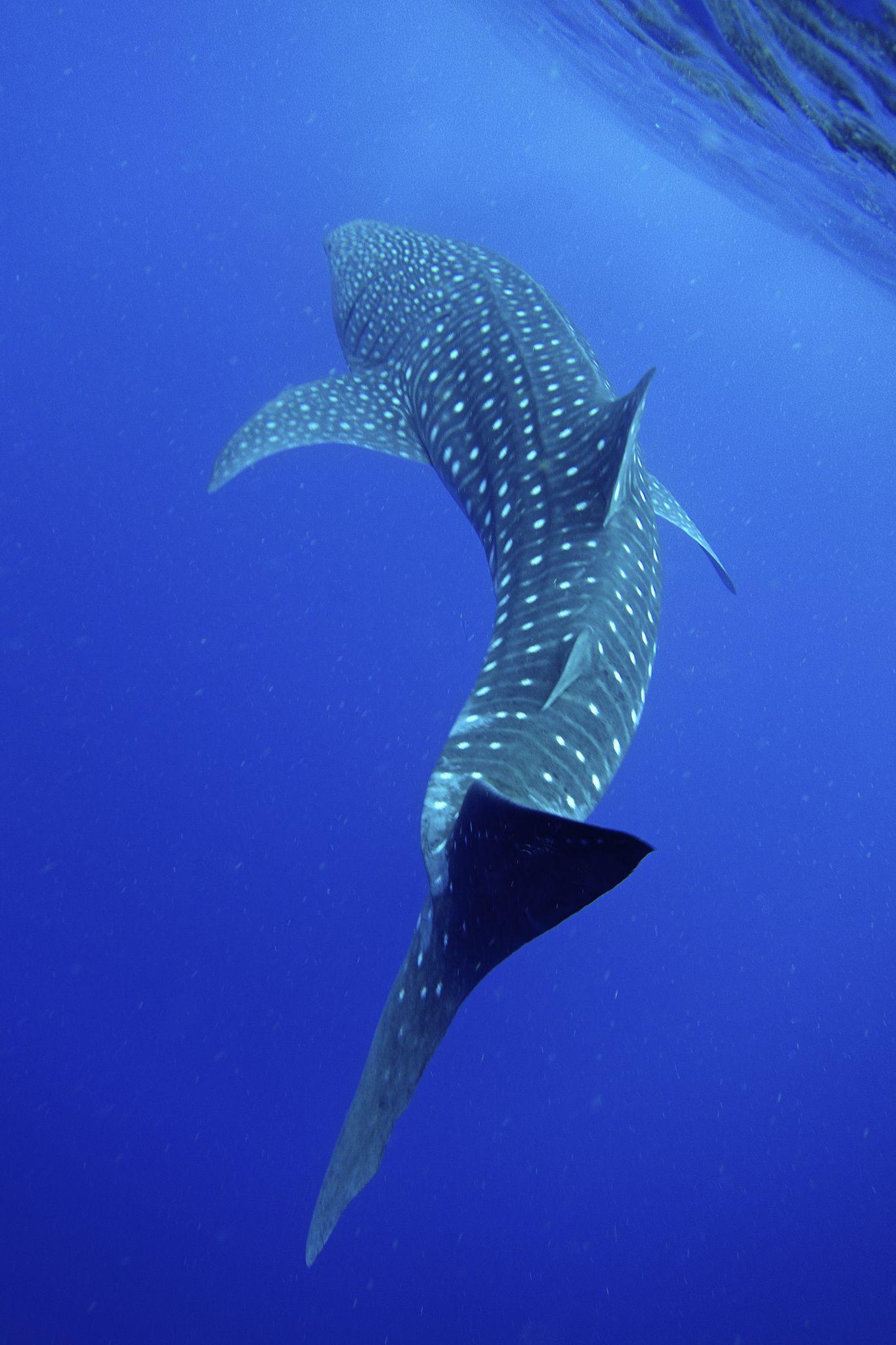My first Whale Shark!!! Belize Shark wallpaper iphone