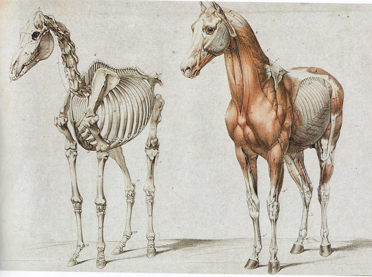 anatomía del caballo | ilustracion | Pinterest | Anatomía del ...