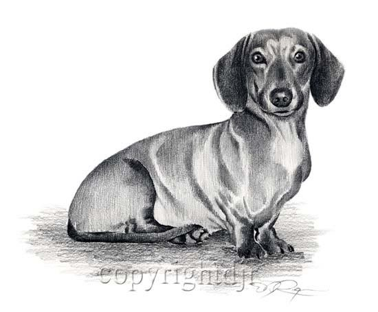 Details About Dachshund Pencil Drawing 8 X 10 Dachshund Art Print