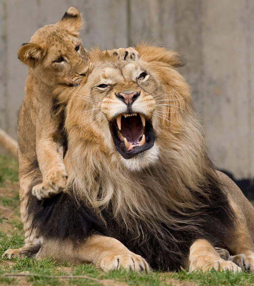 Lion and lion cub.