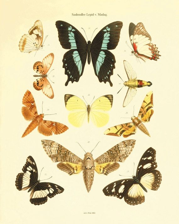 Antique Butterfly art Print Nature print Natural by AntiqueWallArt ...