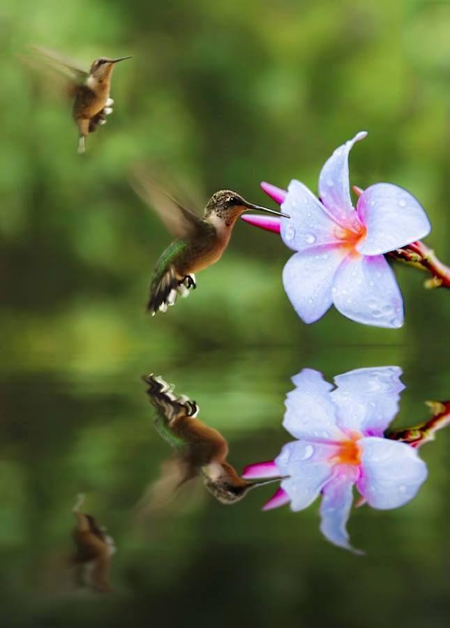Hummingbird in flight. Beautiful flower and reflection.
