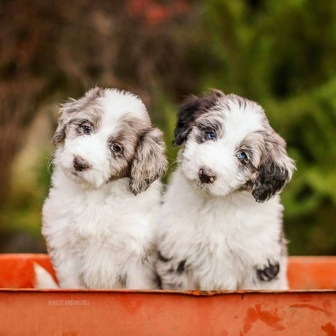 aussiedoodle puppies Puppies and kitties, Puppies, Cute