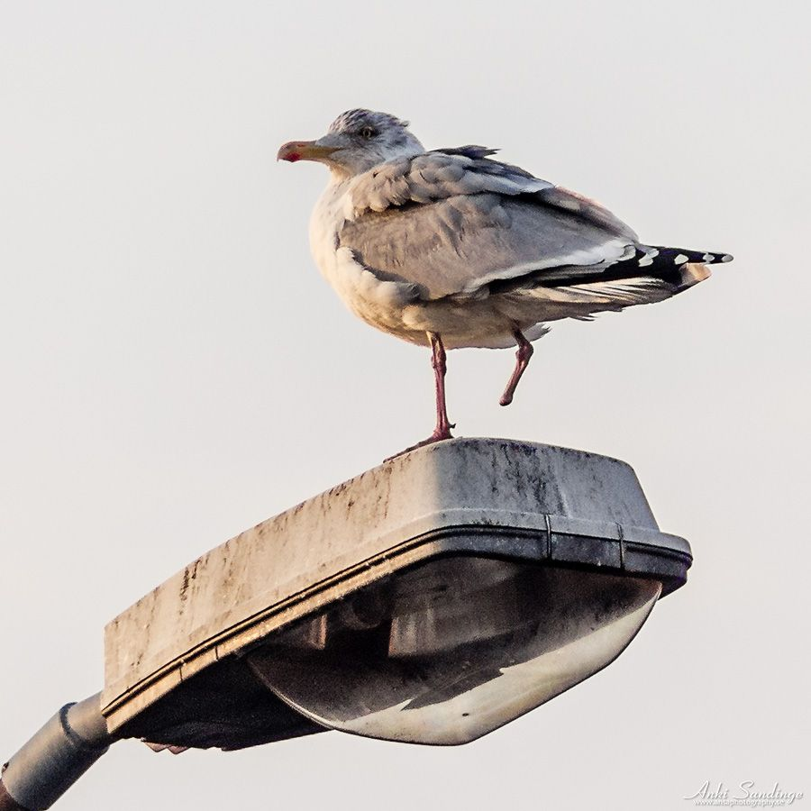 Onefoot | I saw a herring gull this morning with one foot missing and it seemed to manage well, but I still felt bothered.