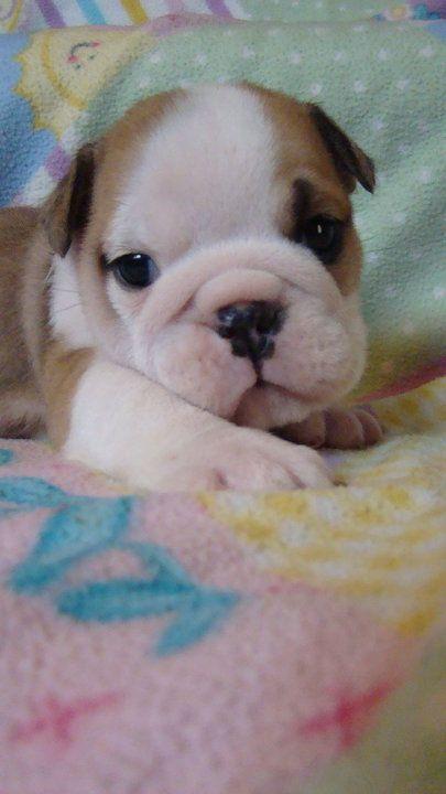 Miniature English Bulldog Puppies Cheap Maltese Dogs Care