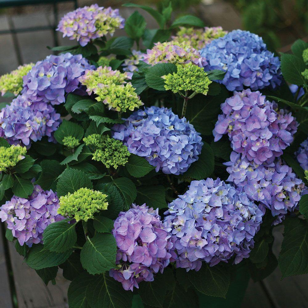 Hydrangea Macrophylla Let S Dance Rhythmic Blue Hydrangea Colors Hydrangea Hydrangea Macrophylla