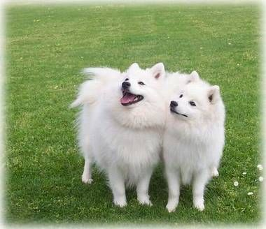 Japanese Spitz Our Loyal Friends Japanese Spitz Dogs Japanese