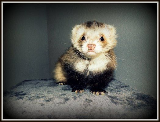 Yummypets Social Network For Pets Cute Ferrets Ferret Pets