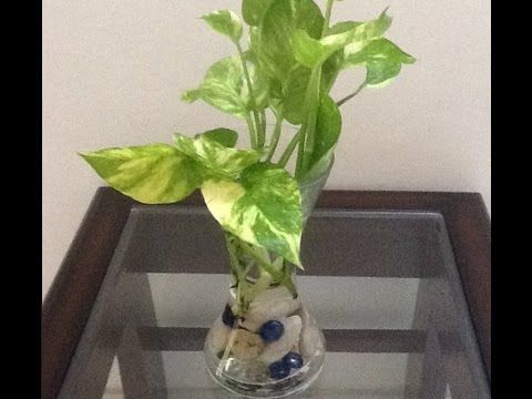 How To Grow Money Plant In Water Urduhindi How To Grow Plants