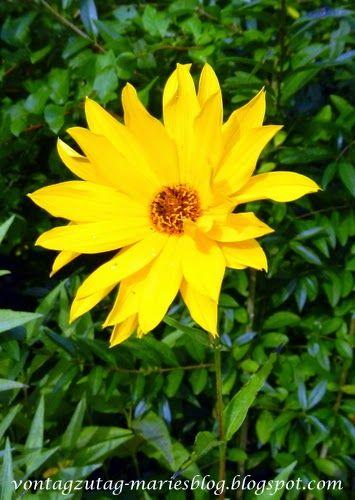 gelbe blume wie hei t sie garten stauden pflanzen gr ser pinterest stauden pflanzen. Black Bedroom Furniture Sets. Home Design Ideas