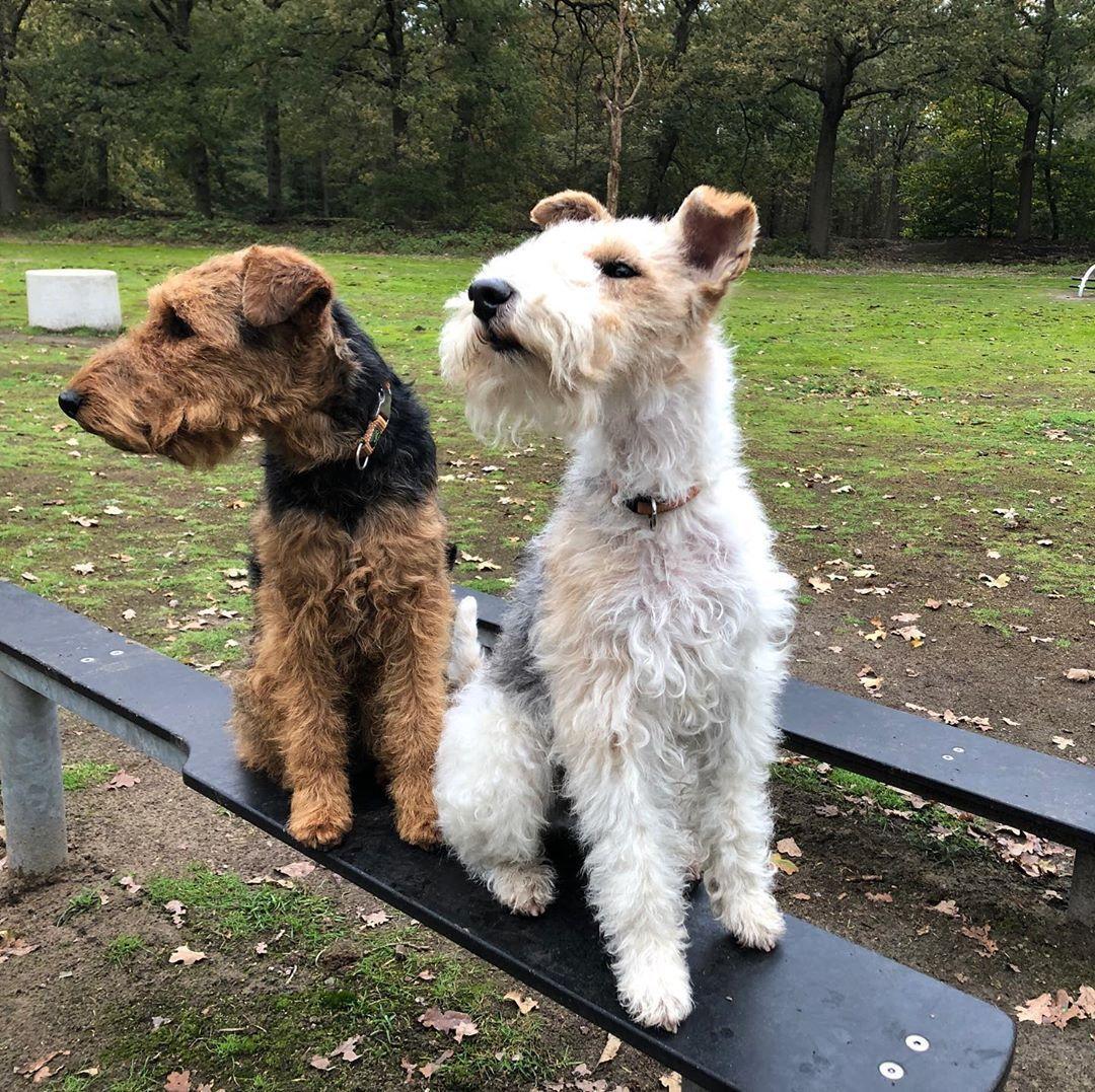 Welsh Terriers In 2020 Dog Breeds Terrier Dog Breeds Terrier