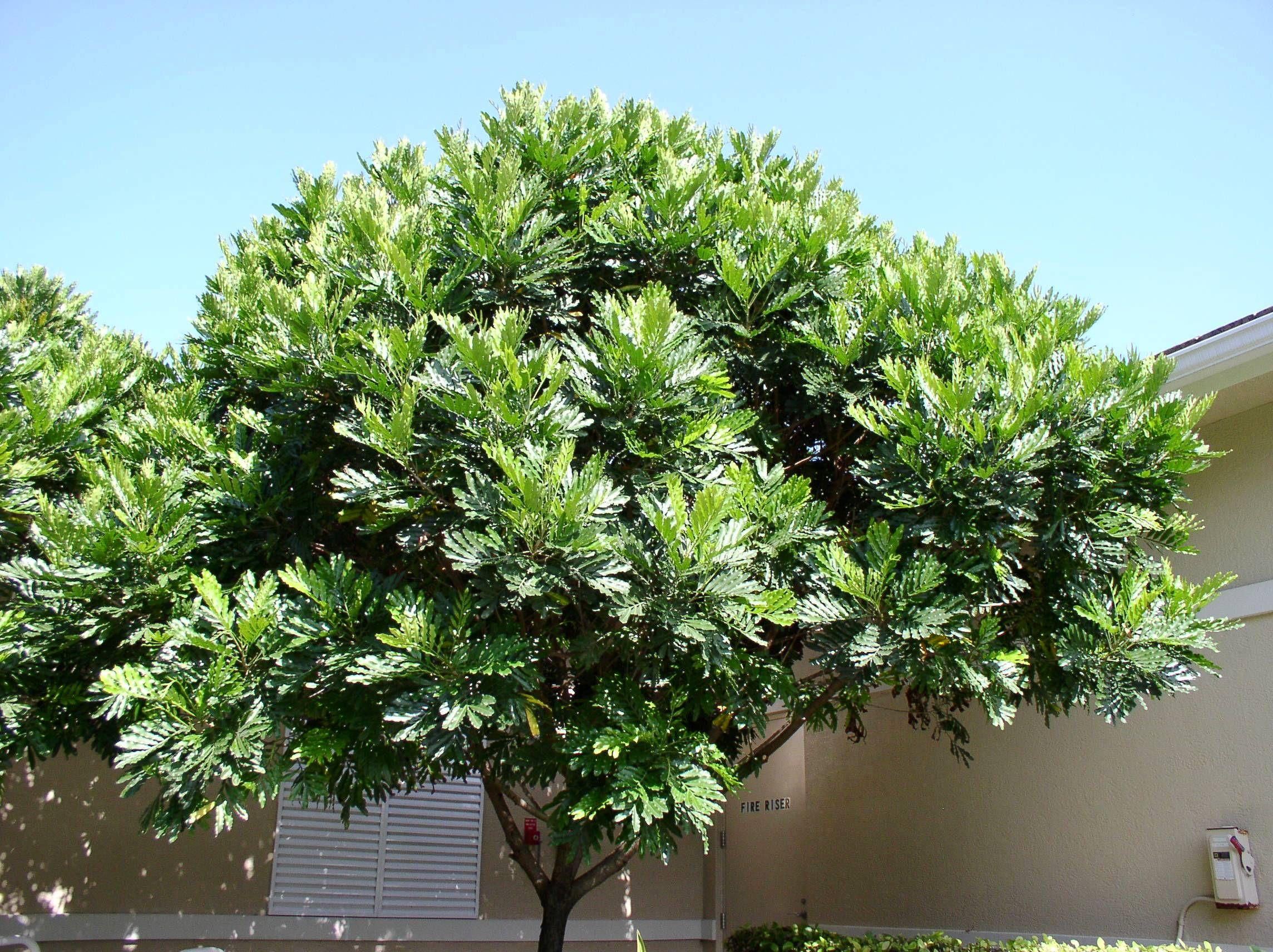 Japanese Fern Tree Outside The Fitness Center In Jonathan