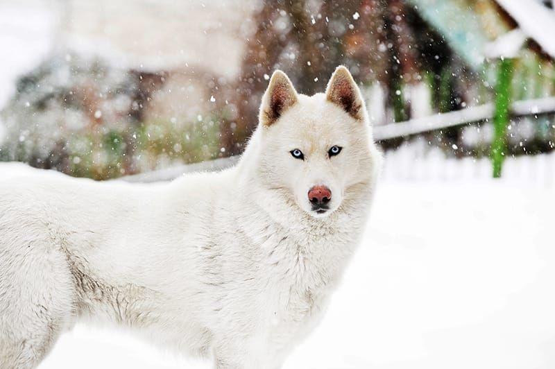 Alaskan Husky Alaskan Dog Names Looking For Alaskan Dog Names