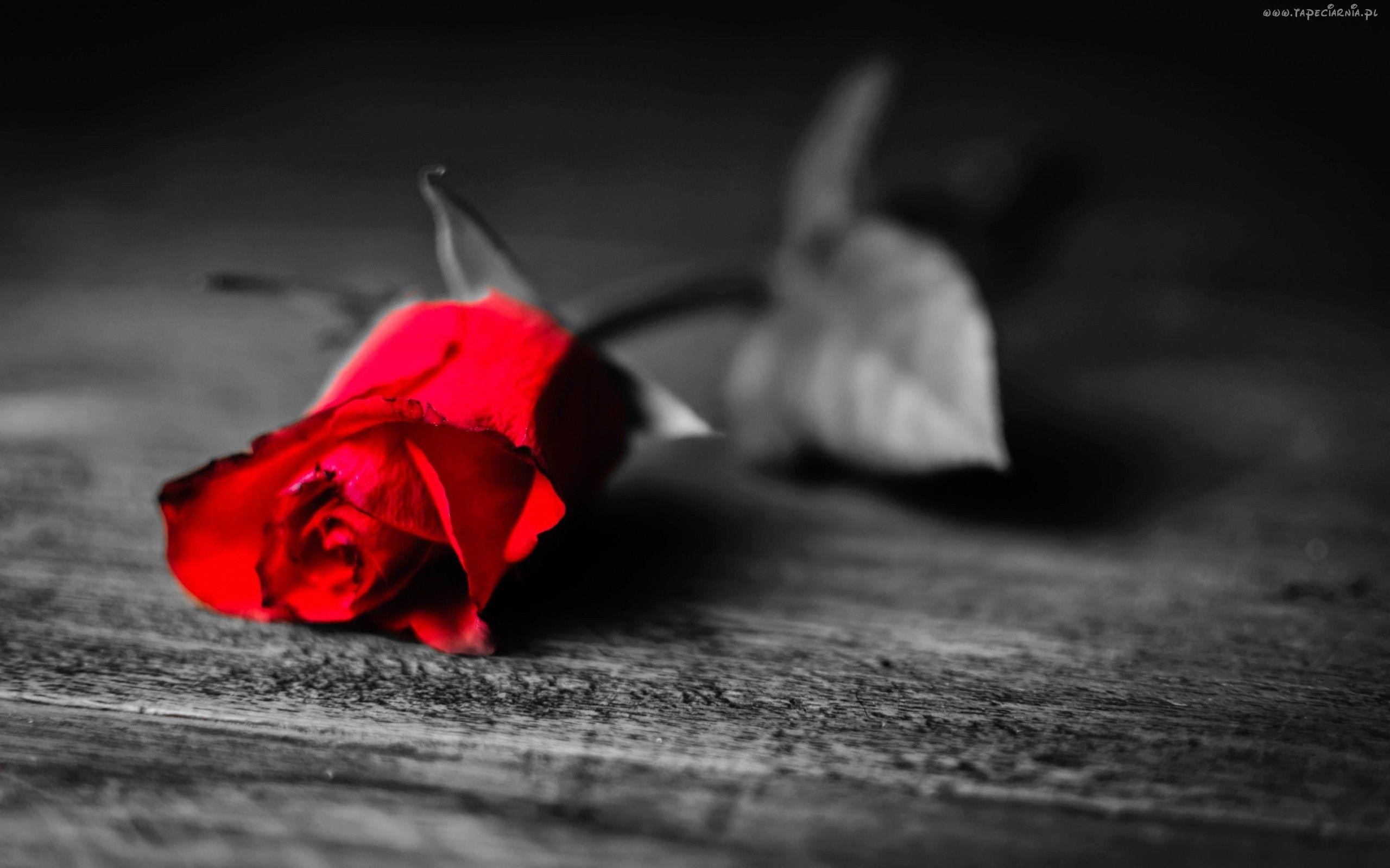 Edycja Tapety Samotna Czerwona Róża ławka Tapety I Zdjęcia