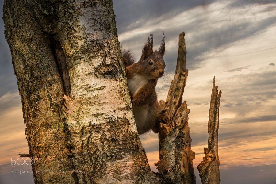 Red squirrel by Halina via http://ift.tt/2gKbnKr