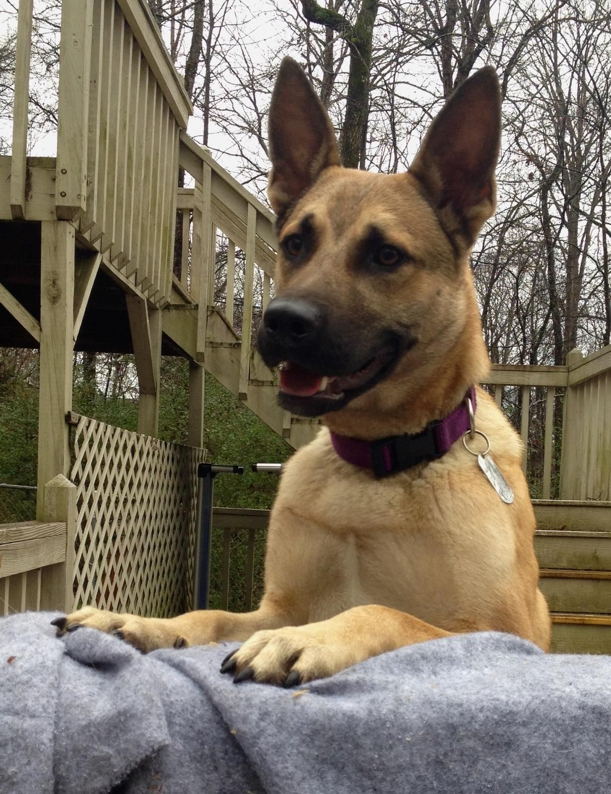 Rio Is An Adoptable Shepherd Belgian Shepherd Malinois Dog In