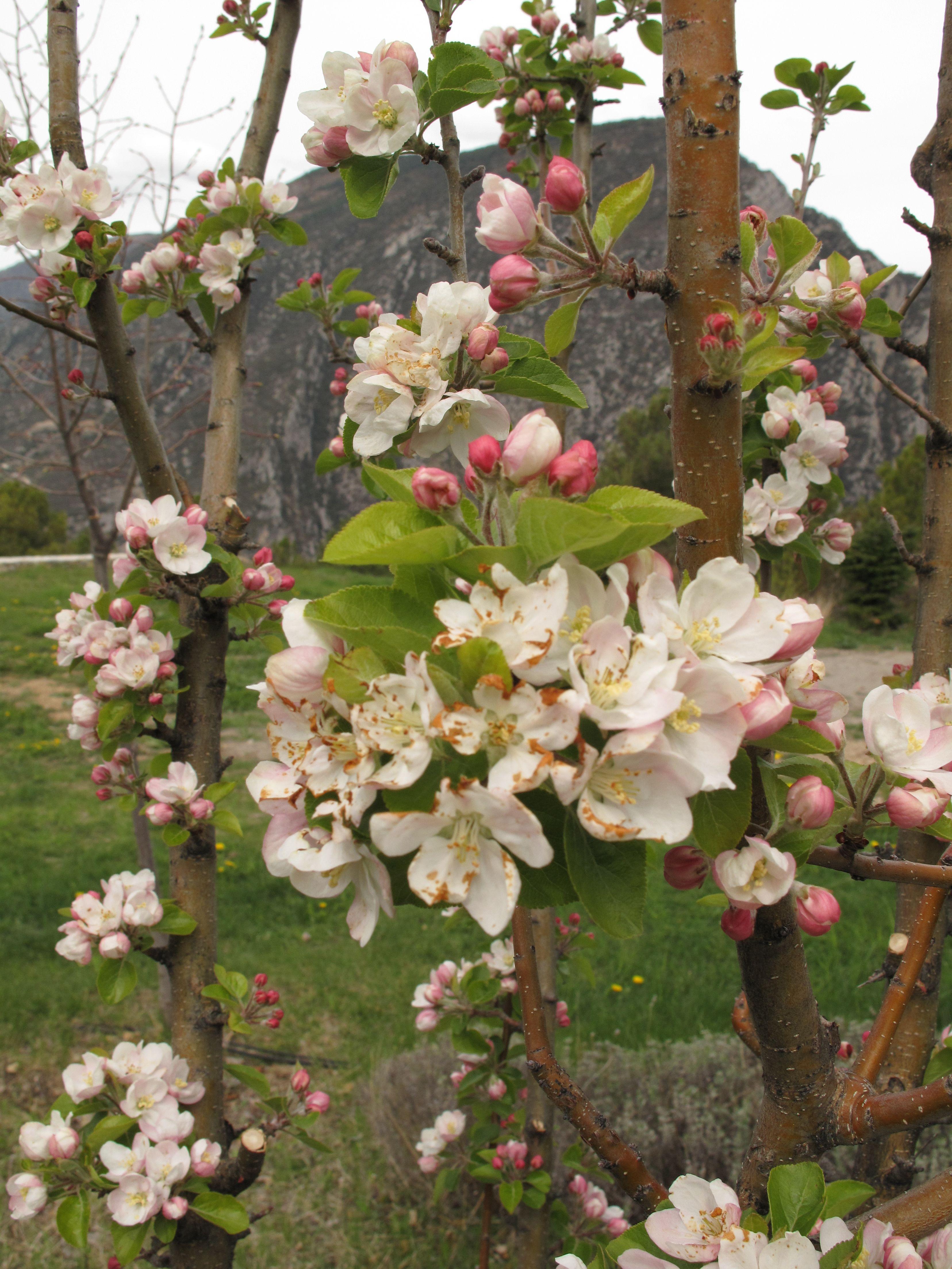 springtime apple trees Bee friendly plants, Tree bees
