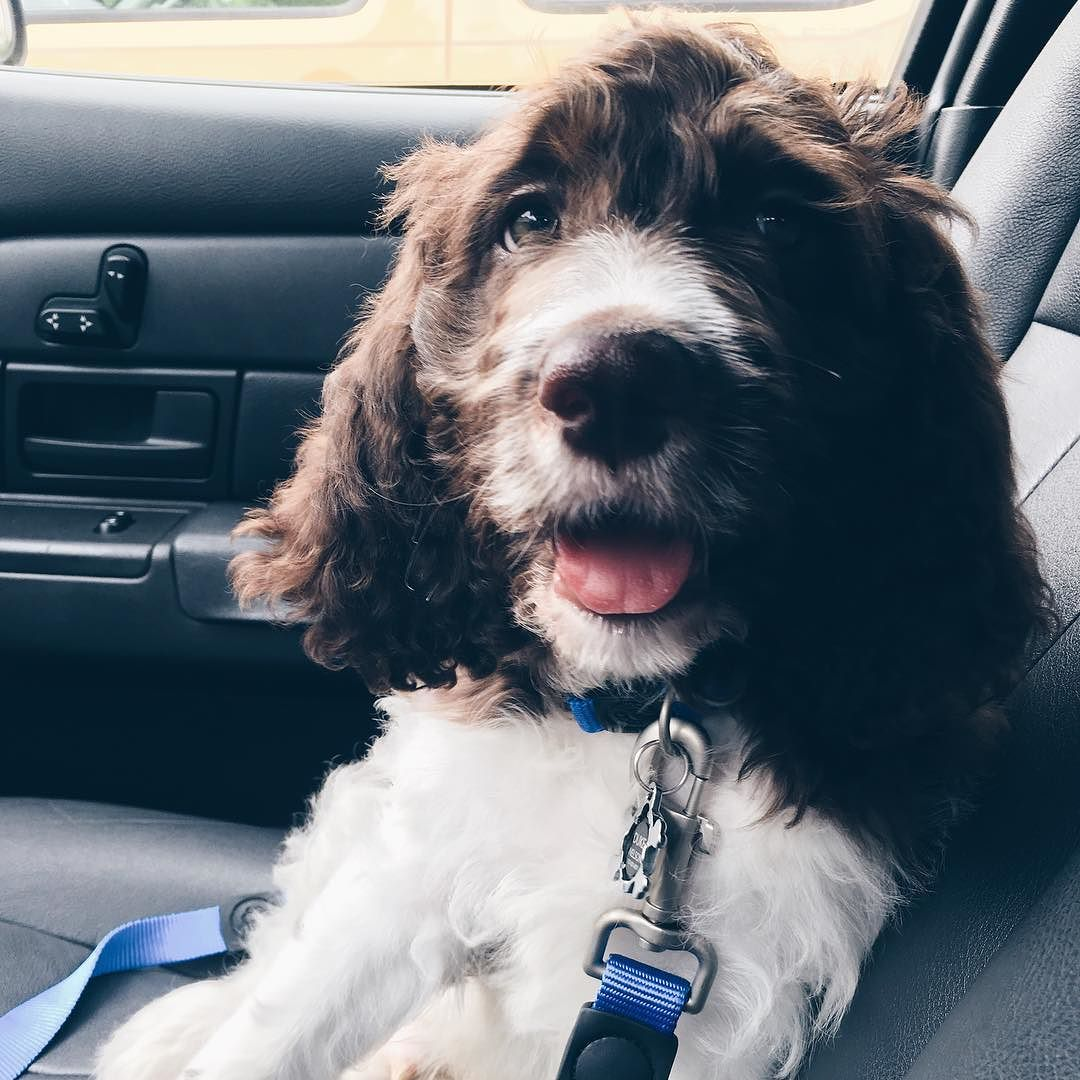 20+ Springer Spaniel Labradoodle Mix Pictures and Ideas on Meta Networks