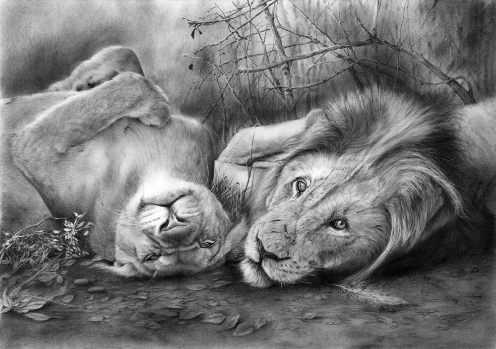 Lioness Line Drawing | Lioness Drawing Is The Finished Drawing. | Beautiful Art | Pinterest