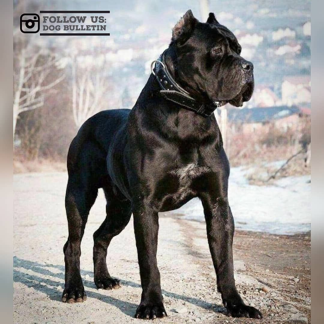 Can You Feel The Power Tell Us Your Opinion S In The Comments Section Tag Someone To Make Their Day No Corso Dog Cane Corso Cane Corso Dog