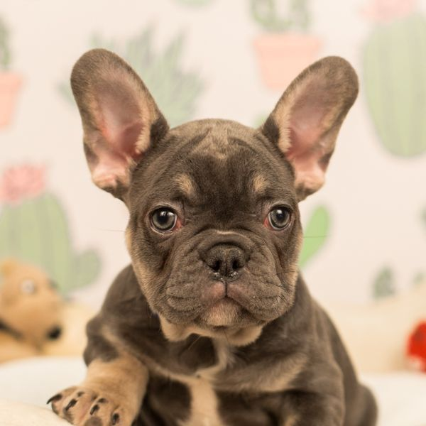 French Bulldog Puppies For Sale In 2020 French Bulldog Puppies French Bulldog