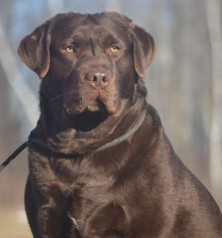 Noble S Page Family Loved Labs English Labradors For Sale Labrador Retriever Labrador Dog English Labrador