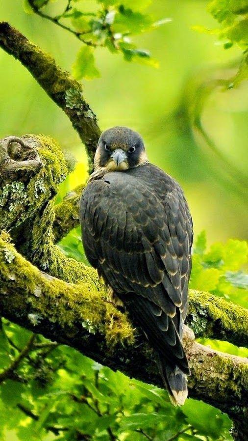 pin von chumaniontree auf falcon  hawk  vögel als