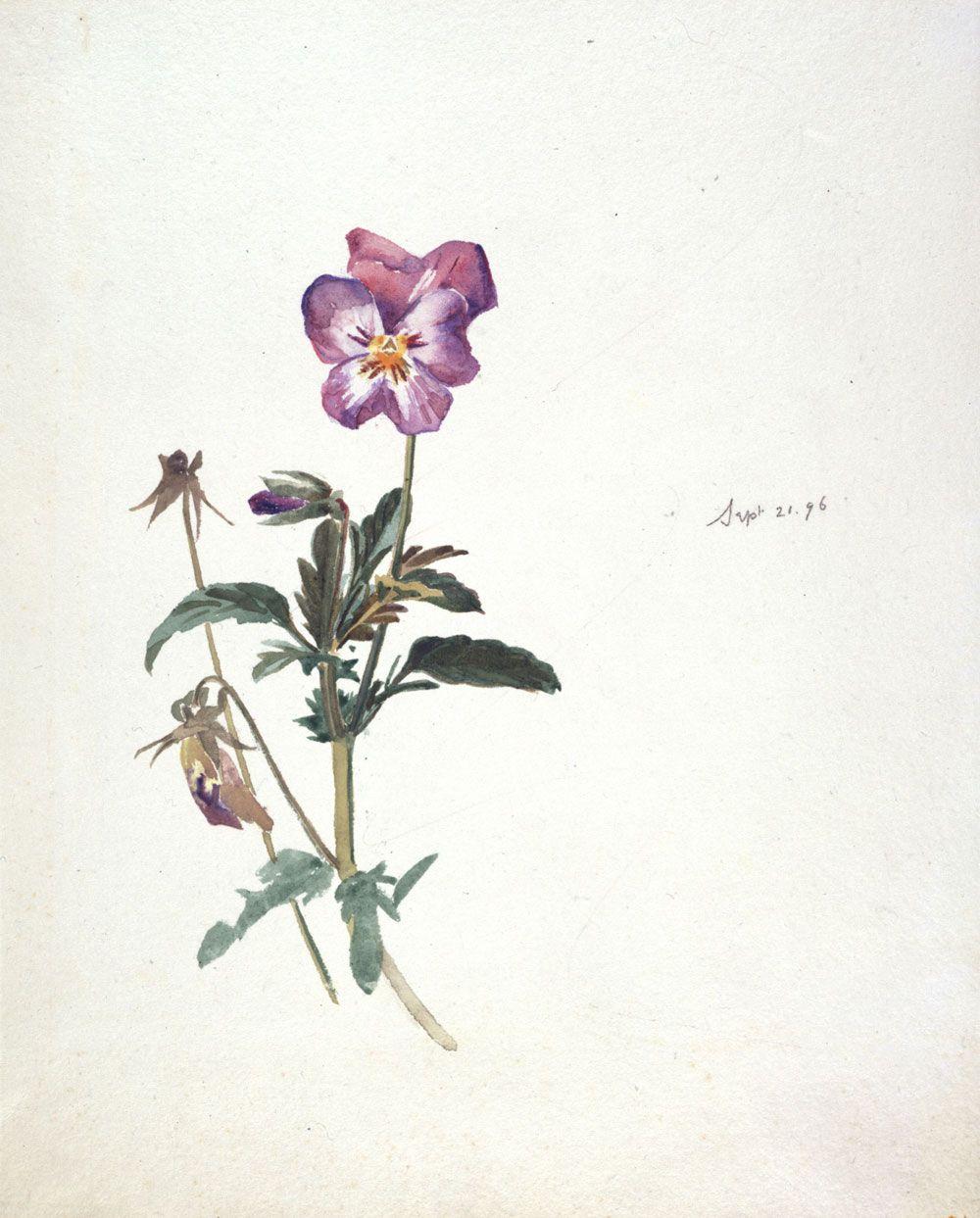 Beatrix Potter Botanical Drawings | Beatrix Potter, Pansy, 21 September 1896. © Frederick Warne & Co