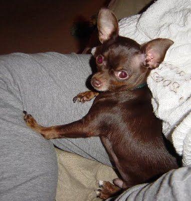 Chocolate Brown Chihuahuas Google Search Chihuahua Love