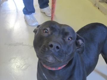 Petango Com Meet Meme A Terrier Pit Bull Mix Available For