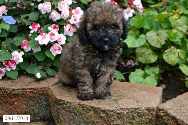 Chrissy Havapoo Puppy For Sale In Millersburg Oh