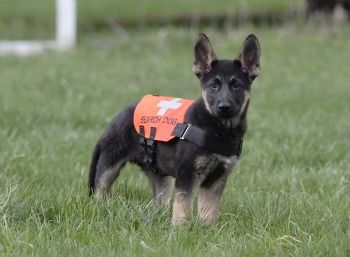 German Shepard Pup In Training For Search And Rescue German