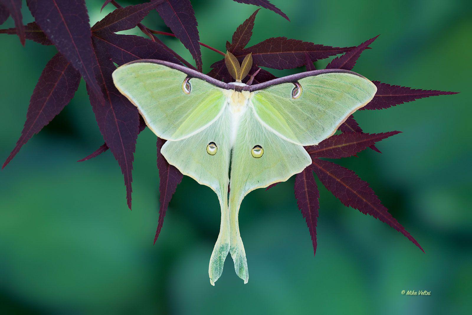 Luna Moth Fm Forums Luna Moth Moth Moon Moth