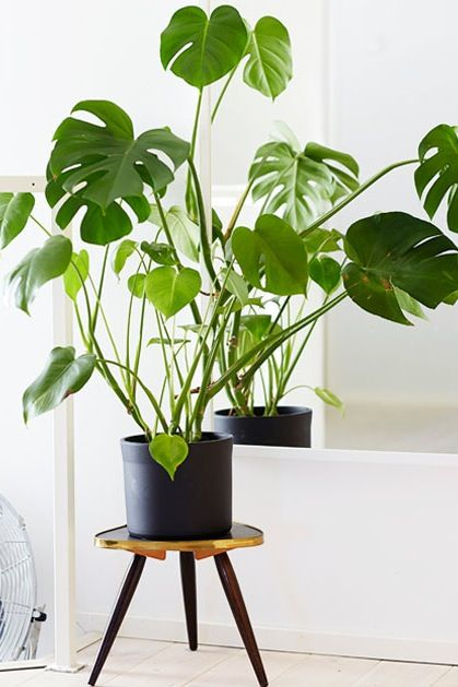 indoor plants that like direct sunlight dont need splitleaf philodendron for tropical vibe loves direct sunlight and lots of water mist leaves once day to keep them perky houseplants you absolutely cant kill plant therapy pinterest