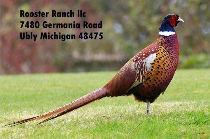Rooster Ranch Ubly Michigan Offers Pheasant Hunting Dog Training Bow Hunting With Professional Guide Nick An Ring Necked Pheasant Pheasant Hunting Pheasant