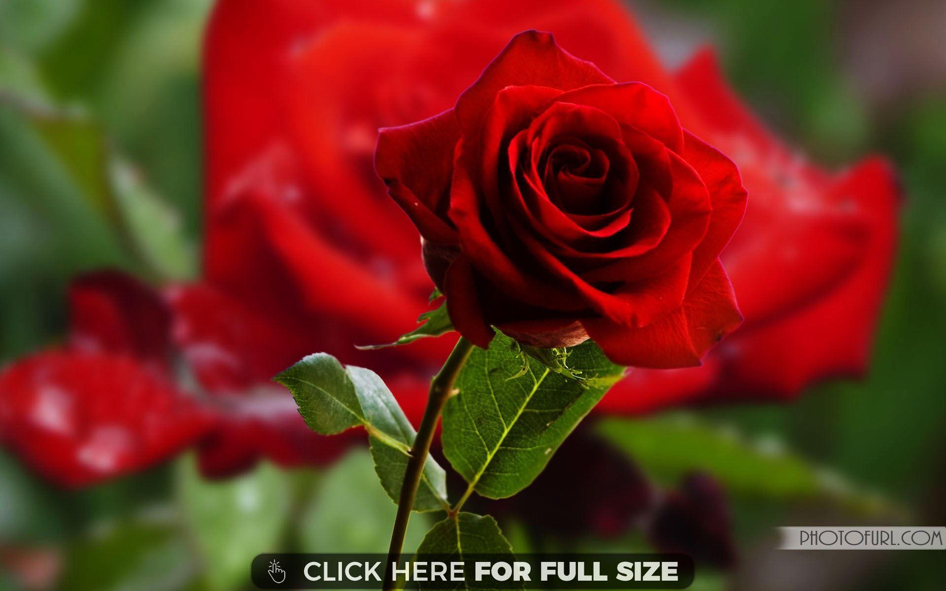 Most Beautiful Rose Flowers Desktop Wallpapers Pinterest