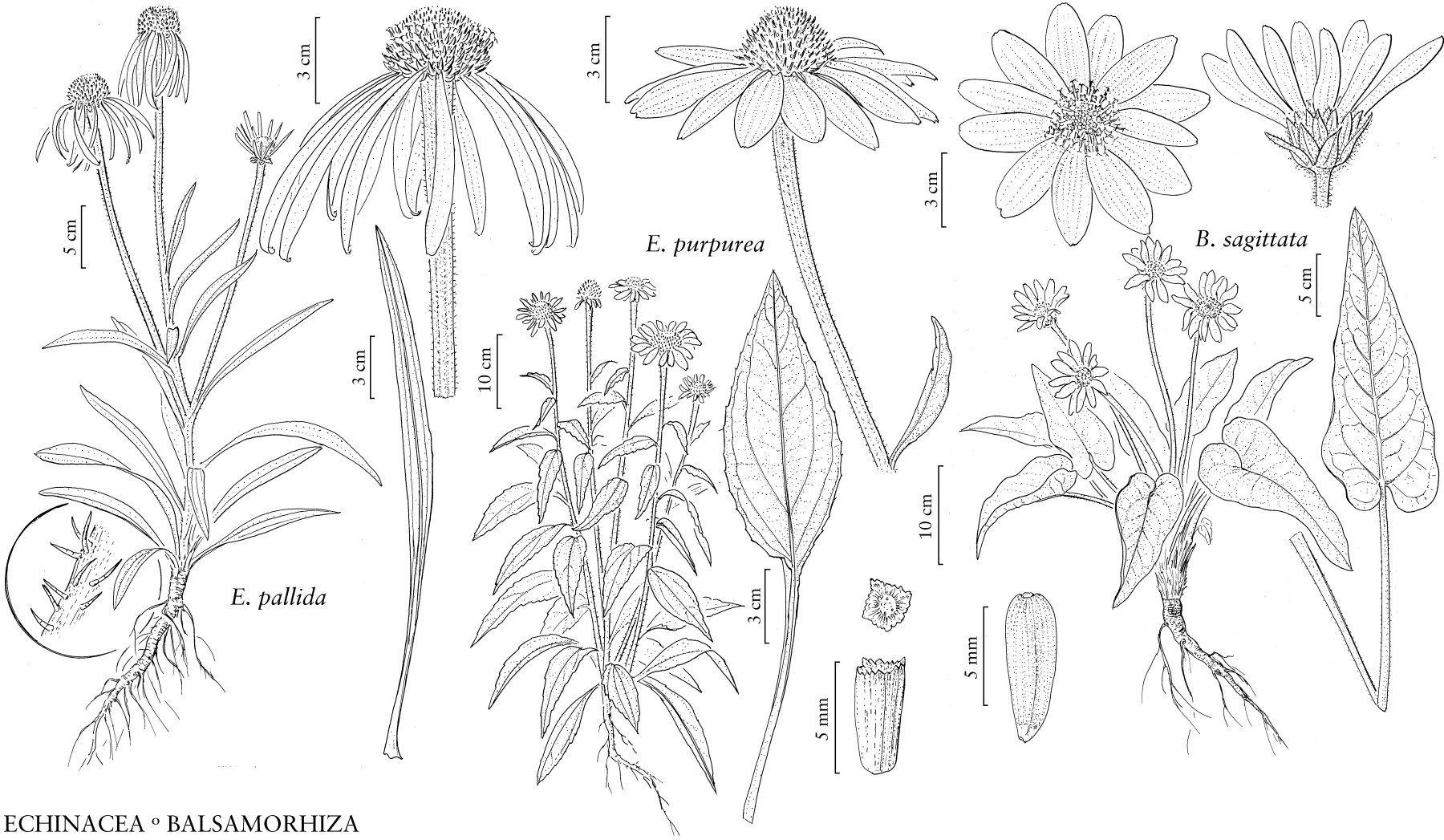 Illustration Echinacea Pallida Flower Drawing Design Flower Drawing Illustration