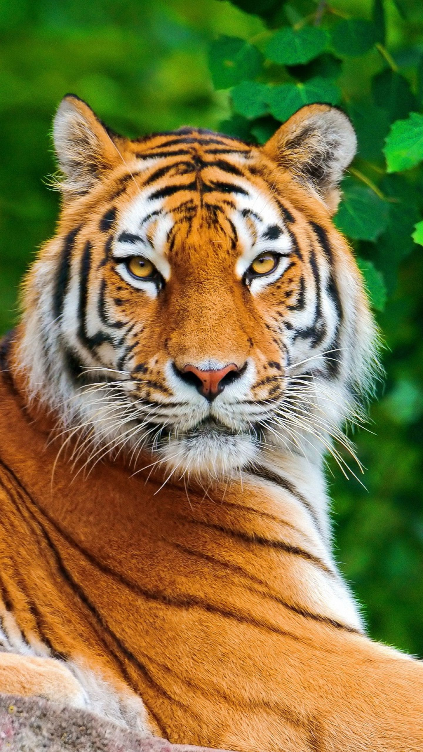 Tiger Mobile Wallpapers Animals Wild Animals Beautiful Tiger Pictures