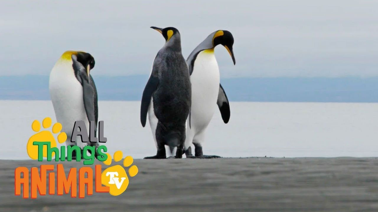 PENGUINS: Animals for children. Kids videos. Kindergarten ...