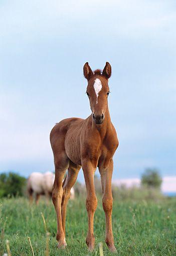quarter horse - Animal Stock Photos - Kimballstock ในปี