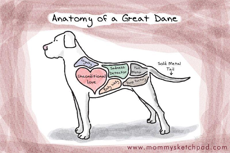 Anatomy Of A Great Dane Great Dane Great Dane Dogs Dane Dog