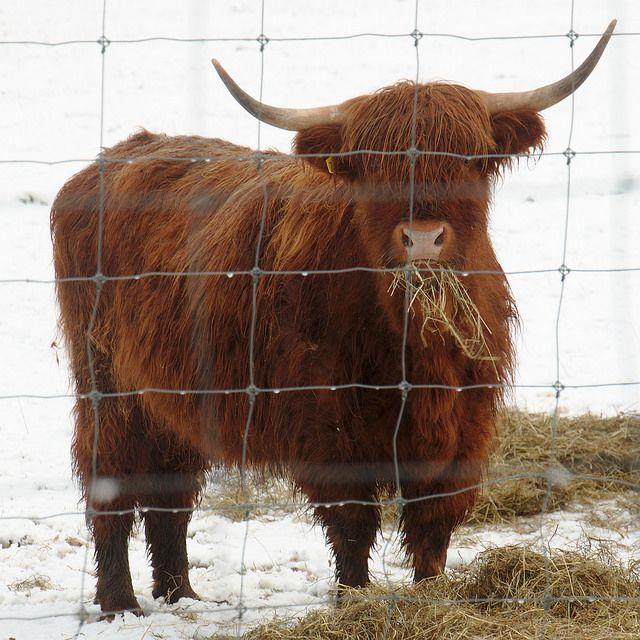 Pin by CJ Washington on Ideas Cute goats, Cows mooing