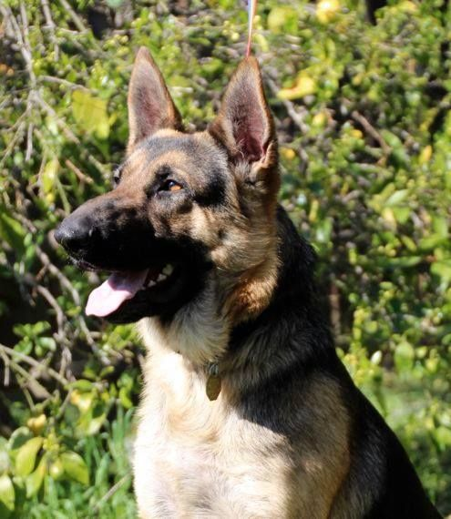 Barclay From German Shepherd Rescue Of Northern California