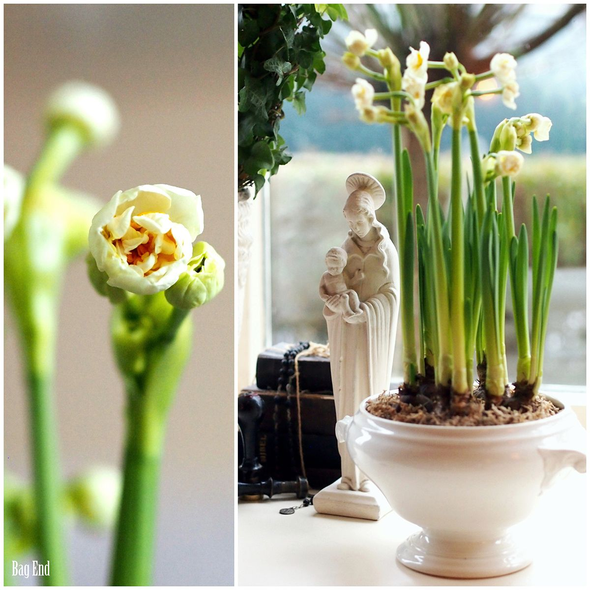 Easter daffodils / Pääsiäisnarsissi