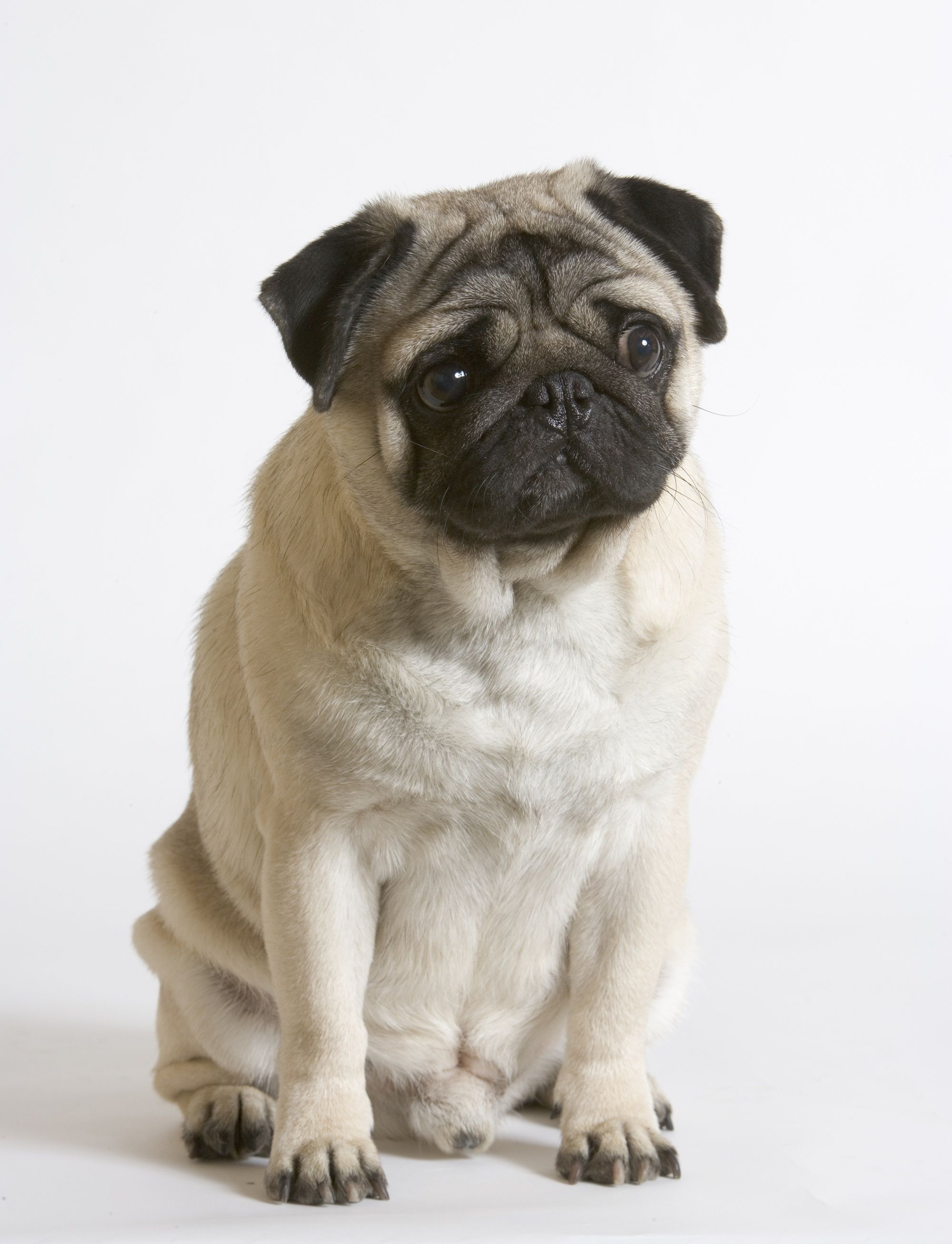 Le Chien Carlin Pug Obsessed Pugs Pugs And Kisses