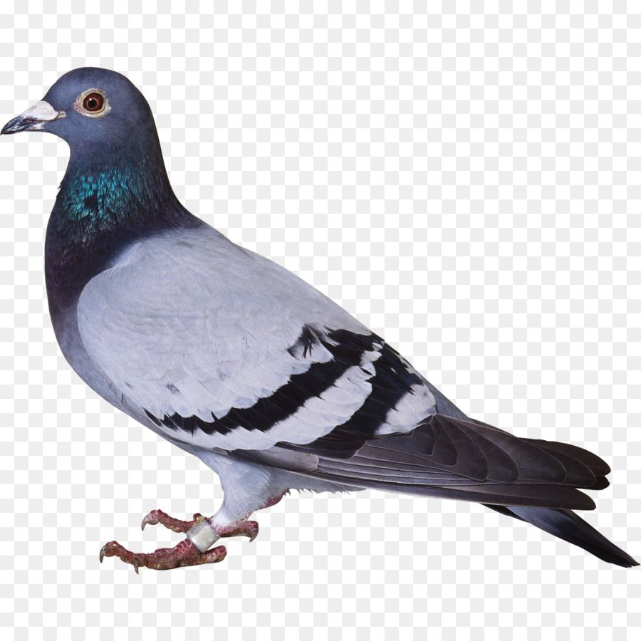 Why Shouldn T You Tell A Pigeon A Secret