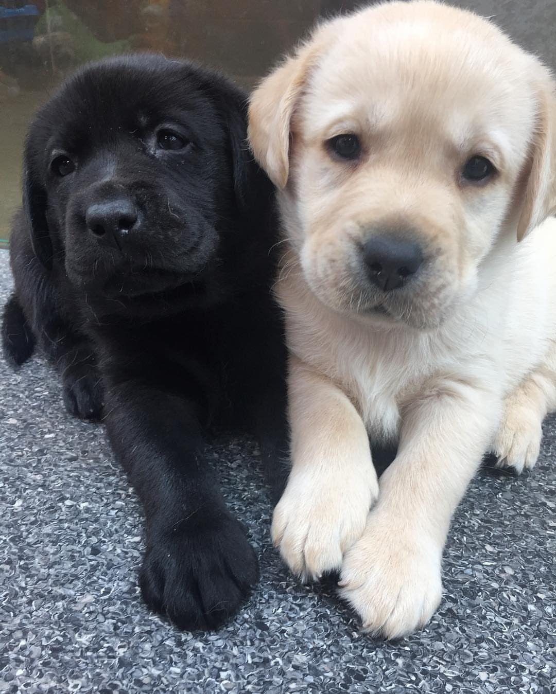 Labrador Retriever Intelligent And Fun Loving Hunderassen