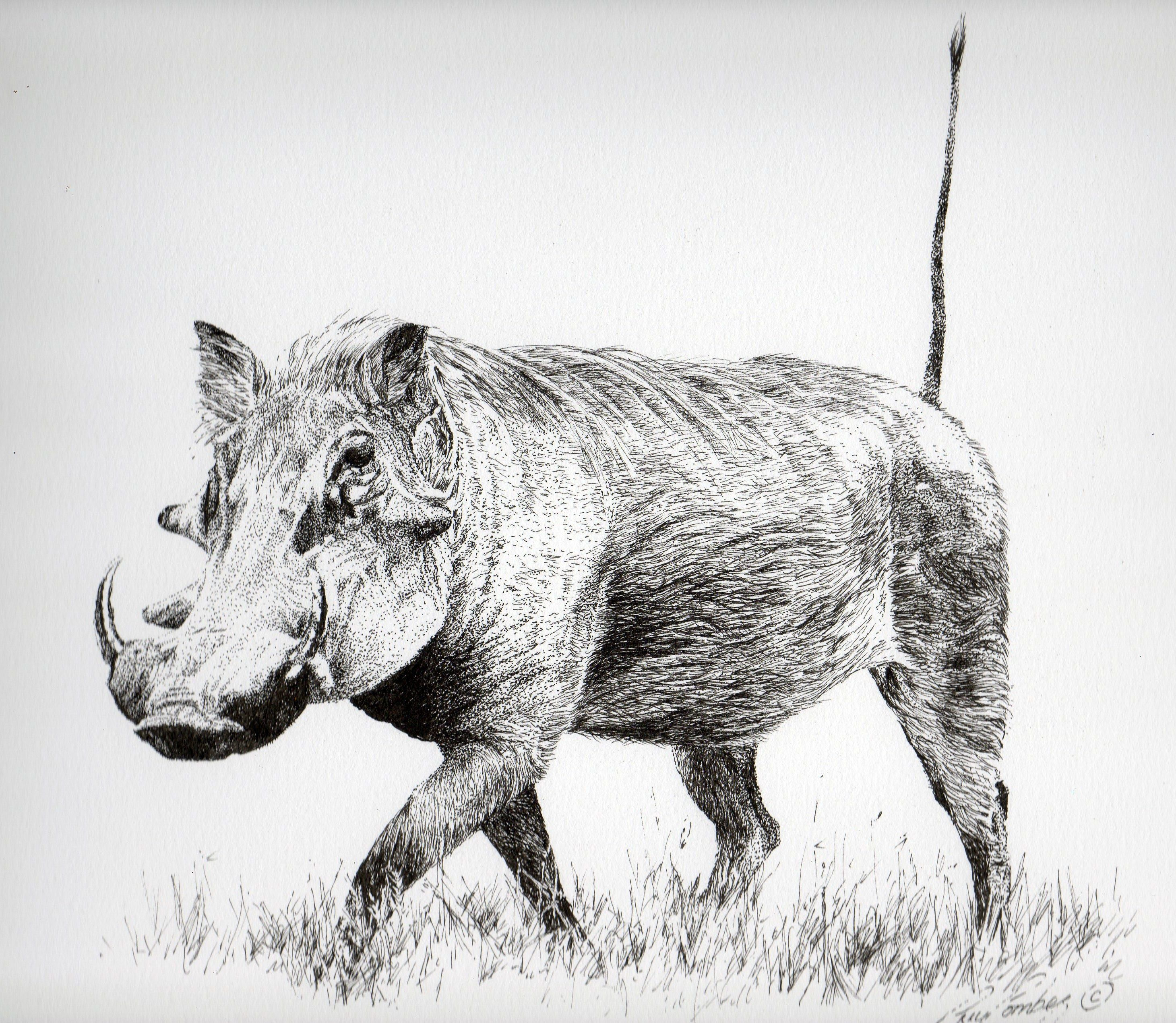 Warthog Study Animal Line Drawings Animal Drawings African Animals