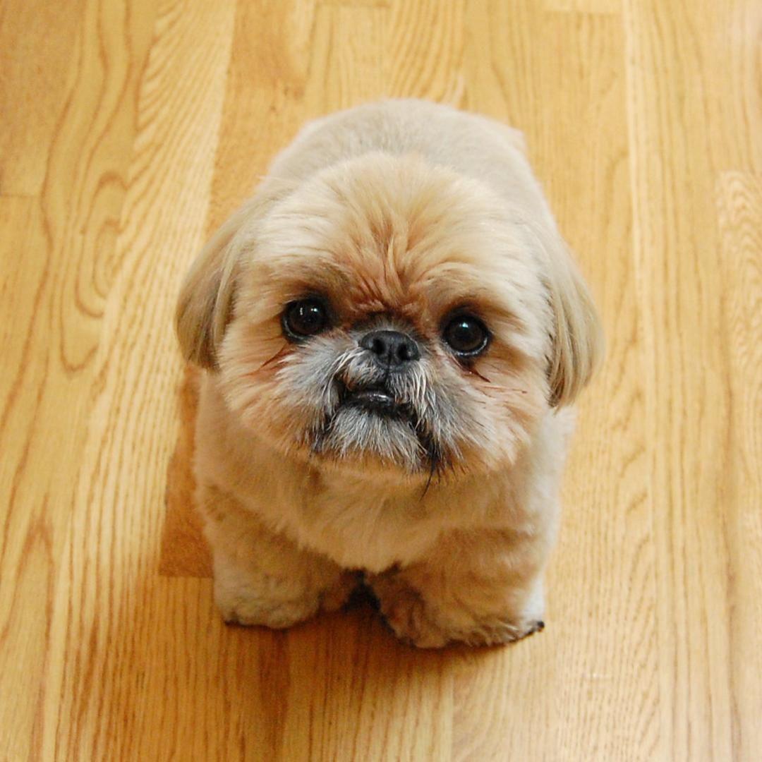 Instagram Shih Tzu Dougie Shih Tzu Dog Shih Tzu Puppy Shih Tzu