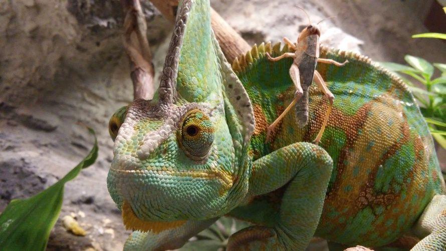camaleón, saltamontes, bichos, reptiles, vida salvaje, verde - Fondos de Pantalla HD - professor-falken.com